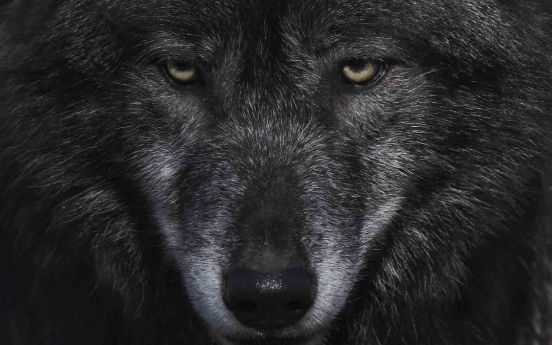 the old wolf hunts with the teeth he's got